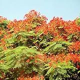 DELONIX REGIA FLAMBOYANT TREE colorful 10 seeds