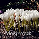 Colchicum Sampler Seeds Colchicums FallBlooming Seeds Three Ground Cover Plant 100 Seeds 7 #32694551200ST