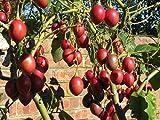 100 Tamarillo Seeds a.k.a.Tree Tomato Organic, NON-GMO Seeds