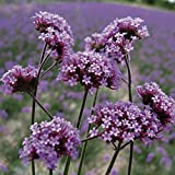 Kings Seeds - Verbena Bonariensis - 250 Seeds