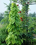 15 Seeds Pipevine, Dutchman's Pipe (Aristolochia durior) Vine Plant