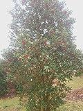"20 Marnuki english holly seeds - Ilex aquifolium "" Marnuki """
