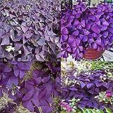 Portal Cool 10Pcs Pink Floribunda Wisteria: 10Pcs Perennial Shamrock- Oxalis Triangularis Bulbs Leaf Flower Seeds Plants Hot