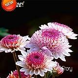 Big Promotion!100 pcs/lot Beautiful Hot Pink White Color Chrysanthemum Seeds Morifolium Seeds DIY Gardening Flower Plant,#WL4LPF