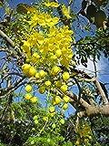 10 Cassia Fistula Seeds / Golden Shower Tree / Yellow Flower / Bactyrilobium Fistula