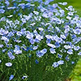 Outsidepride Blue Flax Linum Perenne Flower Seed - 5000 Seeds
