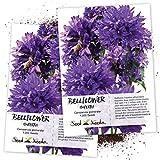 Seed Needs, Bellflower Superba (Campanula Glomerata) Twin Pack of 1,000 Seeds Each