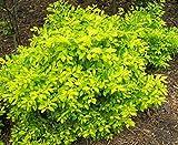 Duranta erecta GOLD MOUND Bright Gold Foliage 1 Plant!
