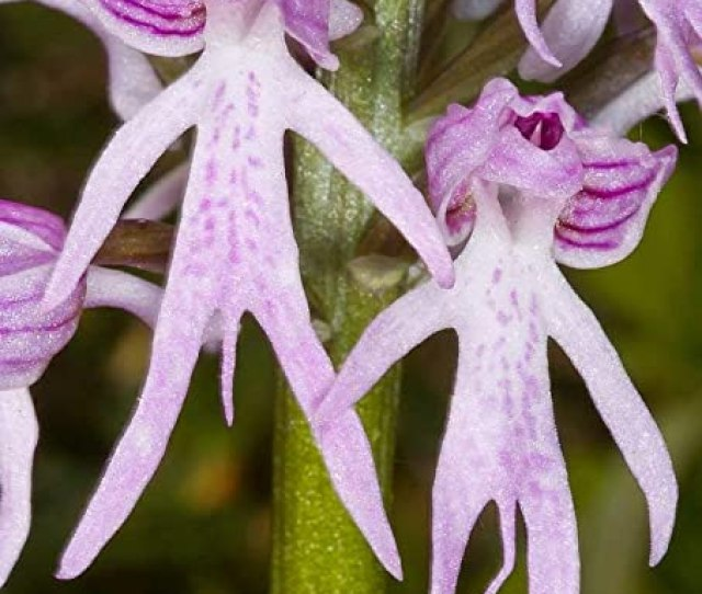 Amazon Com Orchis Italica Naked Man Orchid Italian Orchid