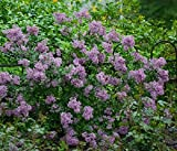 Syringa Vulgaris lilac Plant Fragrant blooms ,shrubs. Exceptionally hardy,1 yr Plant