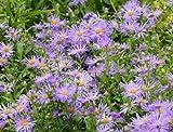 Kalimeris indica seeds herb / vegetable - Herb Seeds (20)
