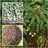 Manihot esculenta 50 Seeds Cassava (Varieties Rayong 5) Manioc Seeds