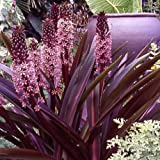 EUCOMIS - PINEAPPLE LILY - SPARKLING BURGUNDY - STARTERS - 2 PLANTS