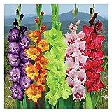 Gladiolus ★ Carnival Mix ★ Sword Lily ★ Gladioli ★ Suberb Cut Flowers ★ 5 Bulbs