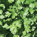 David's Garden Seeds Herb Cilantro Calypso SL2324 (Green) 200 Non-GMO, Organic Seeds