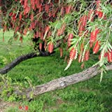 WEEPING BOTTLE BRUSH CALLISTEMON VIMINALIS 100+ seeds