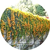 Rare Chinese Orange Pyrostegia venusta Perennial Climbing Plant Seeds, Professional Pack, 5 Seeds / Pack, Very Beautiful Garden