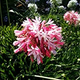 PINK AFRICAN LILY AGAPANTHUS AFRICANUS 10 seeds