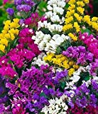 500 Seeds - Statice Seeds-Mix, Lavender, Blue, Rose, Sky Blue, Apricot,&Yellow