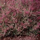 Heather (Calluna Vulgaris)- 50 Seeds