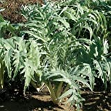 Porto Spineless Cardoon Seeds (Cynara cardunculus) 10+ Rare Seeds + FREE Bonus 6 Variety Seed Pack - a .95 Value! Packed in FROZEN SEED CAPSULES for Growing Seeds Now or Saving Seeds For Years