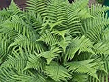 Evergreen Male Fern - Dryopteris filix-mas. 1 gallon live plant. Zones 4-8