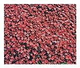 Aubrieta deltoidea Royal Red - False Rockcress - Aubrietia - 10 Seeds