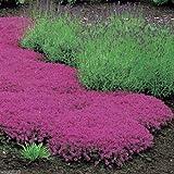 Creeping Thyme Seeds - Magic Carpet - Thymus Serpyllum- Perennial Ground cover ! 1000 seed