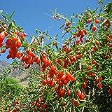 "Goji Berry plant 6""-10"" - Lycium barbarum 1 y.o. - ORGANIC SUPERFOOD"