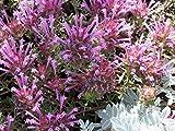Thymus praecox-European thyme-Mint family- pink flowers-20 fresh seeds