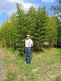 1 Rhizome of Phyllostachys Aurea Bamboo Plant - 5 Feet - Golden/Fishing Pole