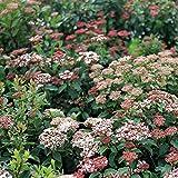 Viburnum 'Spring Bouquet' - Size: 2 Gallon (Viburnum tinus 'Spring Bouquet')