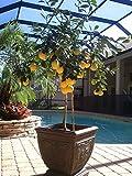 Lulan Meyer Lemon Tree, Dwarf Fruit Tree with Sweet Lemons, Indoor/Outdoor Live Potted Citrus Tree 6 Seeds