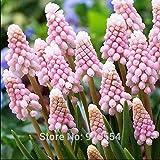 2pcs/lot Muscari armeniacum 'pink' Grape hyacinth bulbs bonsai plant DIY home garden #M002