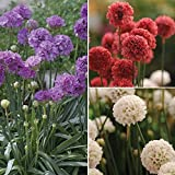 Ballerina Series Armeria Mix - 30 Seeds - Red, White, Lilac