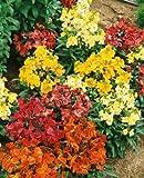 50+ ERYSIMUM CHARITY FLOWER SEEDS MIX / DEER-RESISTANT/ SCENTED / PERENNIAL