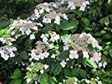 Hydrangea Aspera is a species of flowering plant.