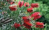 Red Bottlebrush Tree 20 Seeds - Callistemon - Tropical