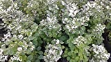 Snow Bush Breynia disticha 4 inch pot