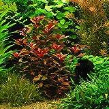 "Ludwigia Repens ""Rubin"" - Live Aquarium Plants Java Moss"