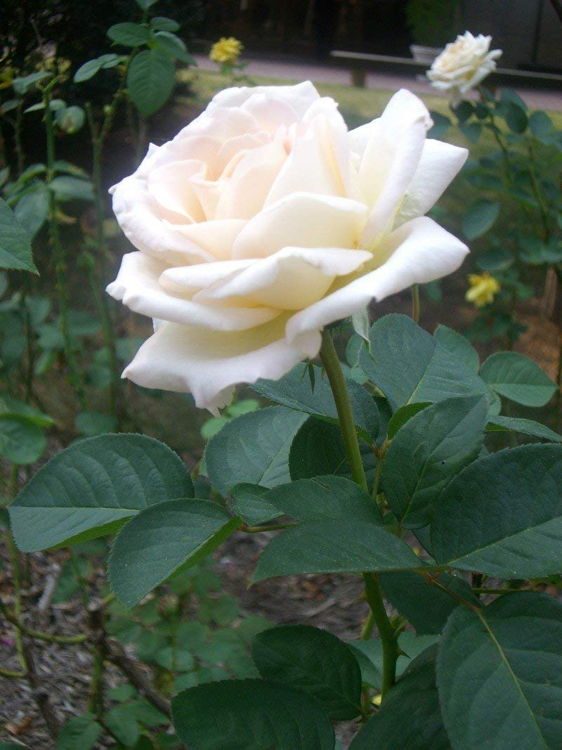 Nelesa Gardening Live Grafted White Rose Plant In Pot Amazon In Garden Outdoors