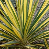 Yucca Color Guard Perennial Plant Adams Needle Plant 4 Inch Container Organic
