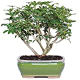 """Brussel's Live Hawaiian Umbrella Indoor Bonsai Tree - 3 Years Old; 7"""" to 10"""" Tall with Decorative Container"""