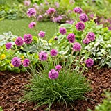 6 Live Armeria Sea Pink Plant - 6 Ground Cover Plants From Plugs
