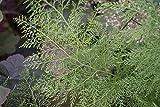 1 Strater Plant of Onychium Japonicum 'Sichuan Lace' - Sichuan Lace Cat's Claw Fern