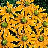 Rudbeckia Hirta- Green Eyes- 100 Seeds-