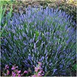 Package of 500 Seeds, Blue Hidcote Lavender (Lavandula angustifolia) Non-GMO Seeds by Seed Needs