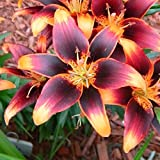 Asiatic Lily Bulbs - Starlette - Bag of 5, Bulk, Early to Mid Summer/Red Flowers with Orange Hearts and Tips