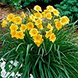15 Bareroot Hemerocallis Stella D'Oros Daylilies 1-2 fan Tennessee Grown