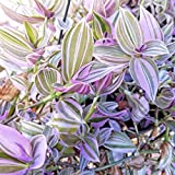 Tradescantia Fluminensis Lilac Wandering Jew Lilac - Rare House plant